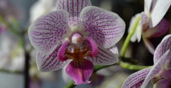 Orchideen zurückschneiden – So geht's richtig!