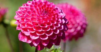 Essbare Blüten – Infos und Tipps