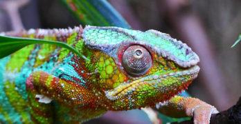 chameleon-farben